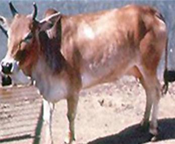 Bhagnari Cow
